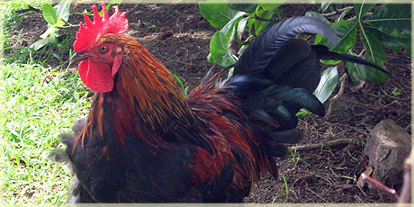 Island rooster