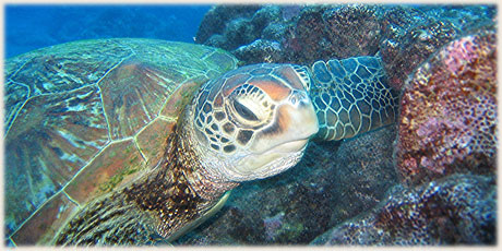 Green Turtle / © and photo : Graham McDonald