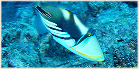 Triggerfish Picasso can bite especially during spawing season Nov-Feb © and photo : Graham McDonald